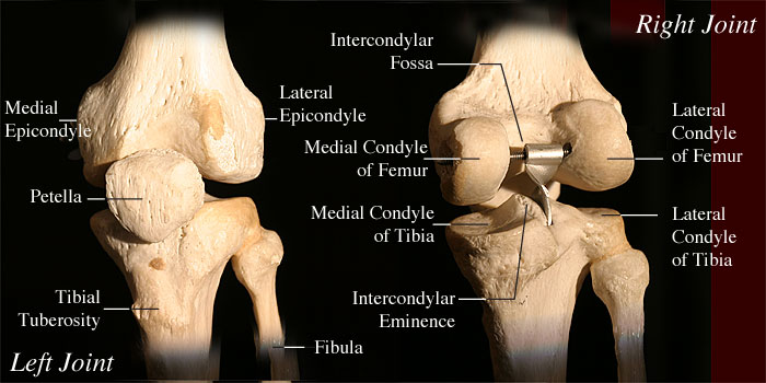 Tibiofemoral Joint