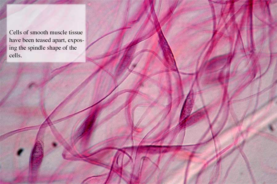 Teased Smooth Muscle Cells Under Microscope 57435 | BAIDATA