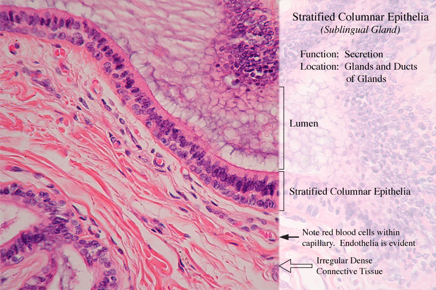 Pseudostratified Columnar Epithelium Location amp Function
