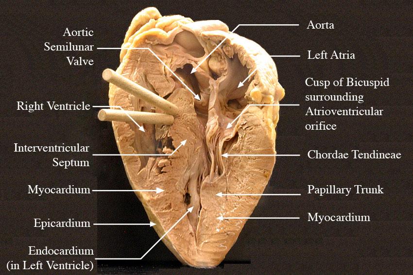 Heart External Anatomy