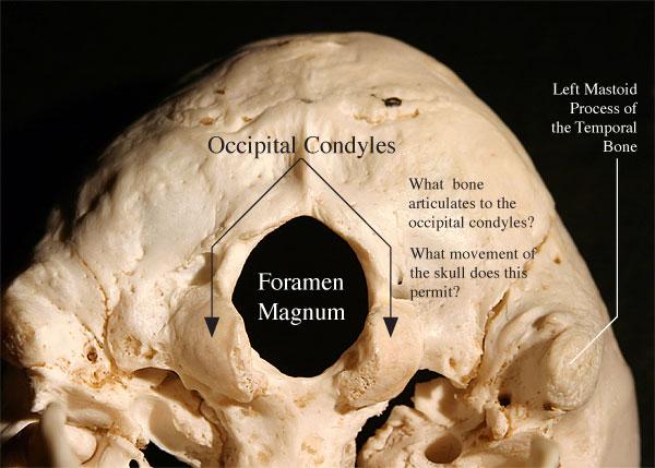 Occipital Bone Anatomy
